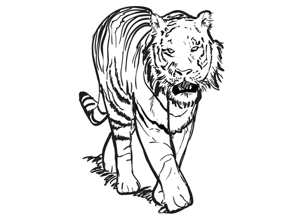 Tiger Line Drawing Easy : Pics for gt simple drawings of tigers