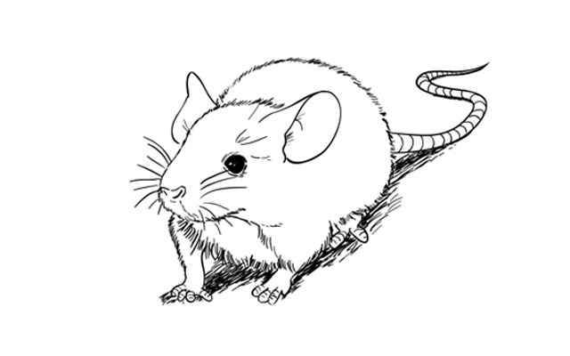 Line Drawing Mouse : How to draw a mouse step by